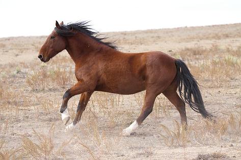 Wild Mustang, Spanish Mustang, Yellow Dun