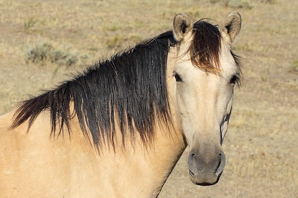 Spanish Mustang Honey Winter Friend