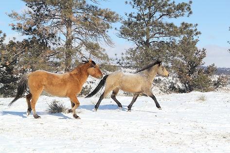 Wild Mustang, Spanish Mustang