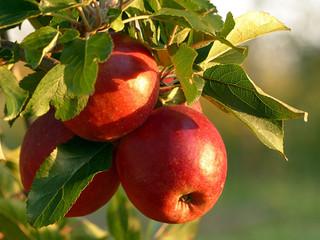 Primeiro registro de podridão parda em maçã no Brasil