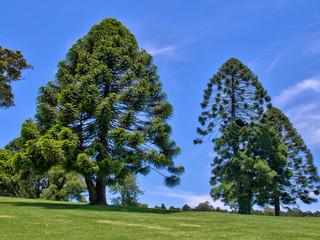 Primeiro registro de murcha-de-sclerotium em pinheiro bunya no Brasil