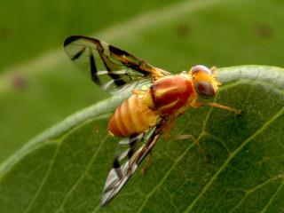Levantamento de moscas frugívoras no sul da Bahia