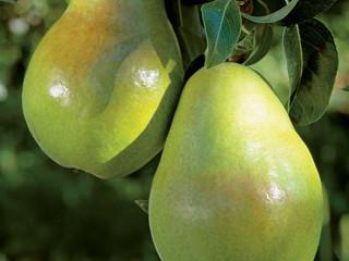 Cacopsylla bidens é relatada no Uruguai