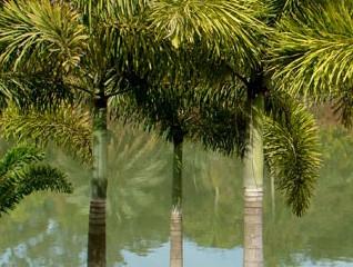 Palmeira rabo-de-raposa da Austrália pode ser importada para o Brasil