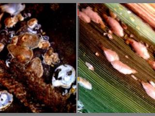 Novo registro de pragas da cana-de-açúcar no Brasil