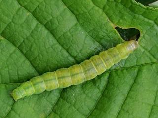 Choristoneura spp.: revisão de gênero de praga quarentenária para o Brasil