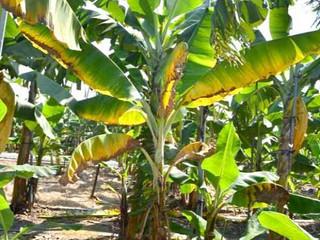 Fusarium oxysporum f. sp. cubense Raça 4 Tropical - Série especial das pragas agrícolas mais importa