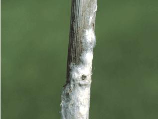 Agricultura do futuro: DNA de fungo pode ser detectado nas pétalas das flores de canola antes dos si