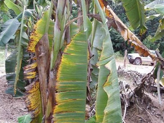 Praga Quarentenária da banana amplia sua distribuição geográfica