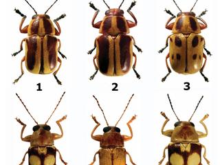 Novas espécies de besouros desfolhadores descritas no Brasil e na Bolívia