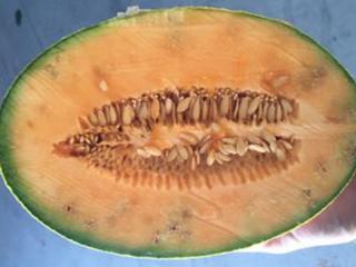 Praga quarentenária do meloeiro detectada no Brasil