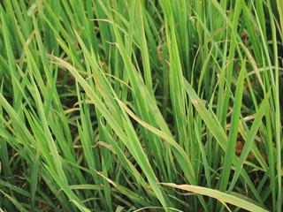 Xanthomonas oryzae pv. oryzae - Série especial das pragas agrícolas mais importantes que ainda não c