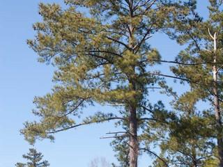Mudas de Pinus do Chile podem ser importadas para o Brasil