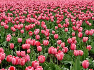 Requisitos para importação de hastes de tulipas com flores do Chile
