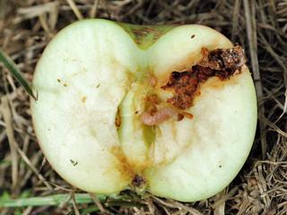 Cydia pomonella - Série especial das pragas agrícolas mais importantes que ainda não chegaram ao paí