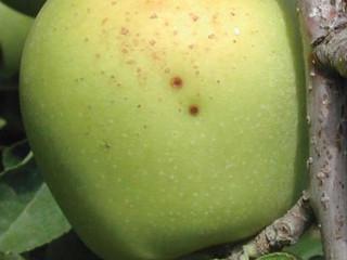 Fungos do gênero Alternaria causando doença em macieiras no Chile