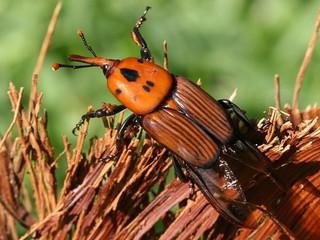 Você consegue se deslocar a pé 50 km em 24h? Este besouro consegue.