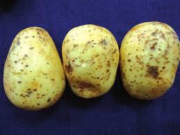 Como prever o risco de perdas causadas por nematoides em batata? A resposta está no DNA