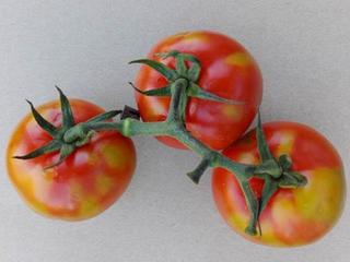 Nova virose do tomateiro expande sua distribuição geográfica