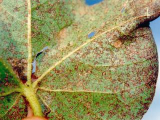 Ferrugem tropical do algodoeiro - da infecção à lesão