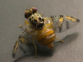 Associação de mosca-das-frutas com banana