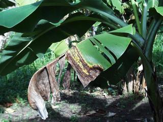 A sigatoka-negra chega à Bahia