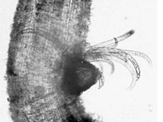 Novo nematoide da soja