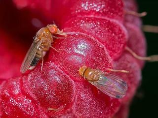 Invasão biológica - por que esta pequena mosca japonesa está se alastrando pelo mundo?