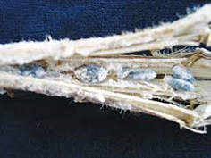 Sclerotinia sclerotiorum - por quanto tempo os escleródios sobrevivem no campo?