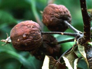 Erwinia amylovora, praga quarentenária ausente para o Brasil, expande sua distribuição geográfica