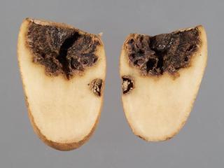 Boeremia foveata - Série especial das pragas agrícolas mais importantes que ainda não chegaram ao pa