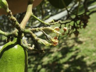 Erysiphe quercicola amplia lista de hospedeiros no Brasil