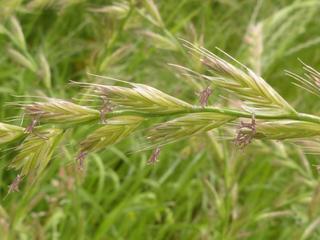 Controle de azevém em trigo