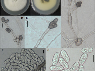 Colletotrichum brevisporum amplia sua lista de hospedeiros