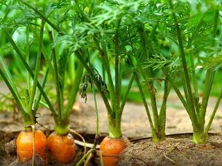 Carrot torradovirus 1 amplia sua distribuição geográfica