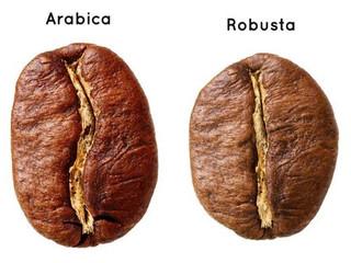 Espécies do gênero Fusarium causam murcha em plantas de café robusta