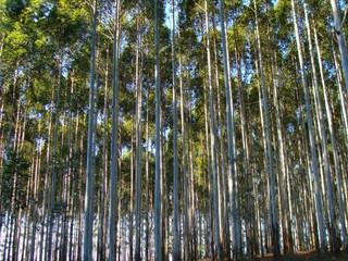 Nova praga do eucalipto no Brasil