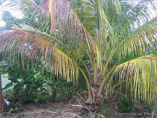 Ácaro-vermelho-das-palmáceas: em 2005, uma ameaça. Hoje, praga quarentenária presente em quatro regi