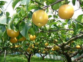 Nova praga da pera no Brasil