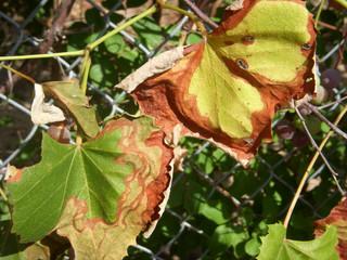 Xylella fastidiosa subsp. fastidiosa - Série especial das pragas agrícolas mais importantes que aind