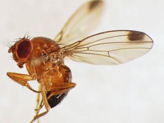 Novo hospedeiro de Drosophila suzukii