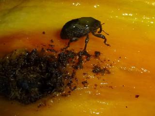 A presença de Sternochetus mangiferae
