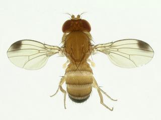 Drosophila suzukii chega à maior região de produção de morangos no Brasil