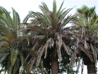 Candidatus Phytoplasma palmae - Série especial das pragas agrícolas mais importantes que ainda não c