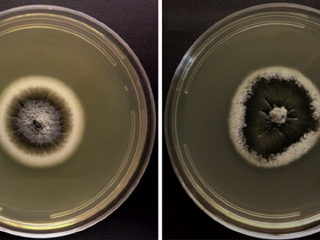 Primeiro registro de C. luteo-olivacea causando podridão lateral em kiwi no Chile