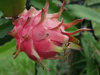 Pitaya é o novo hospedeiro de Colletotrichum karstii