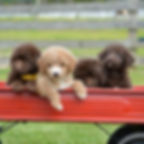 Male F1B mini Labra Doodle grp photo.jpg