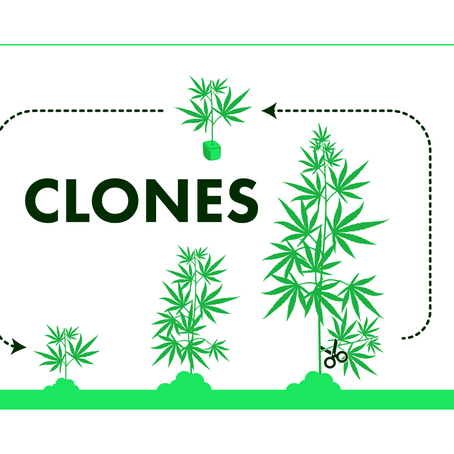 How to Clone Your Cannabis Plant