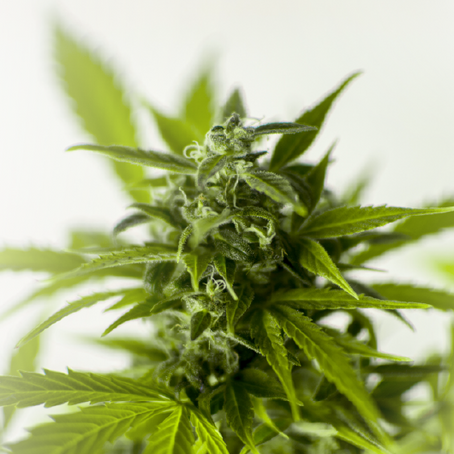 All About the Flowering Stage of Cannabis