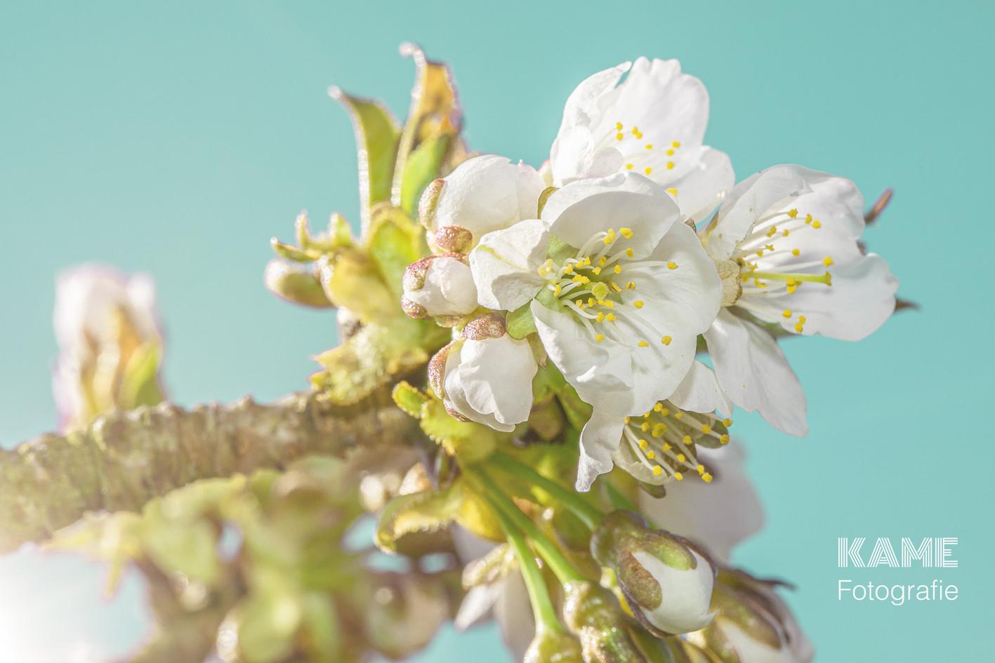 cKirschblüte